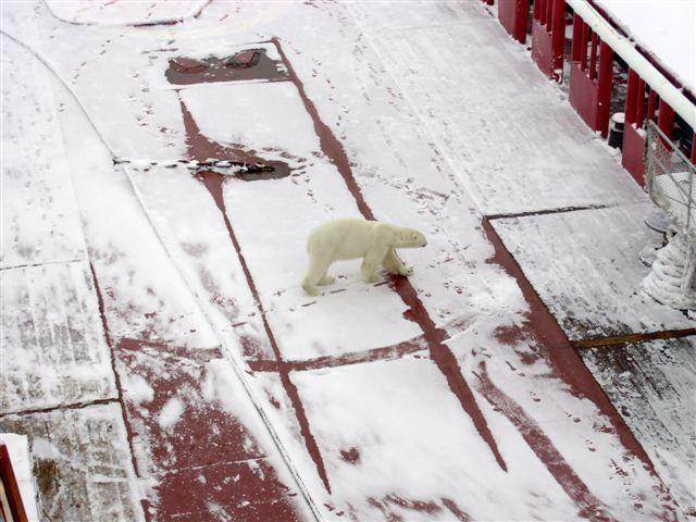 Polar bear on deck.