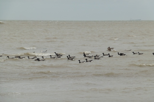 Brent geese swimming with the Herring gulls just off Nayland Rocks.
